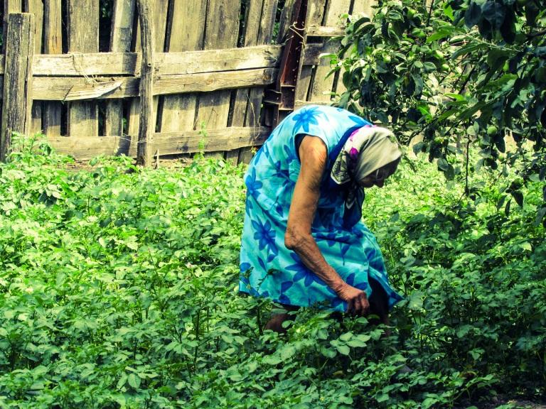Rosalie på knærne mens hun renser potetplantene sine for biller og andre småkryp.