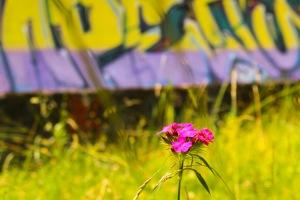 En blomst lyser opp i engen langs bobbanen.